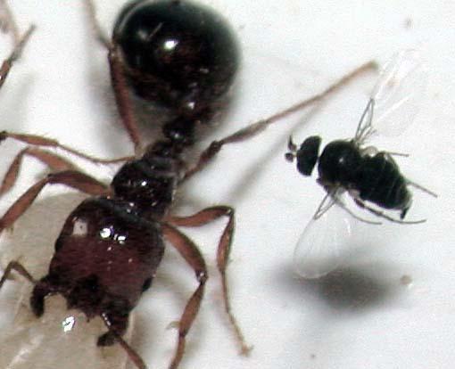 Ant Parasitoids Predators And Competitors